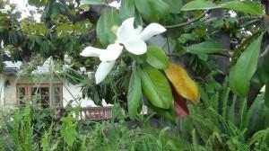 Magnolia Tree Blossom DSC00584