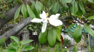 Magnolia Tree Blossom DSC00585