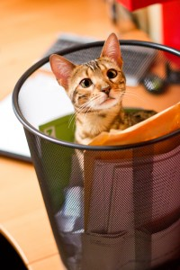 Bengal Cat plying in Recycle Bin